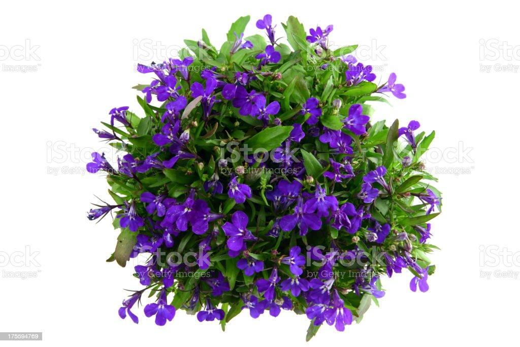 isolated blue Garden Lobelia (Lobelia erinus) stock photo