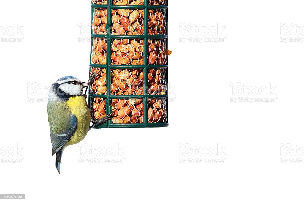 isolated blue tit on garden feeder stock photo