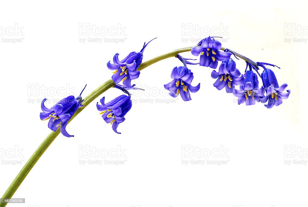 Isolated Bluebell stock photo