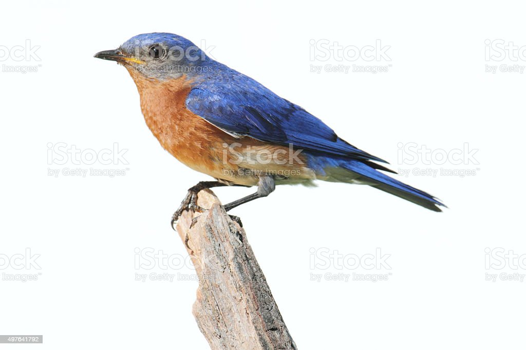 Isolated Bluebird On A Perch With A White Background stock photo