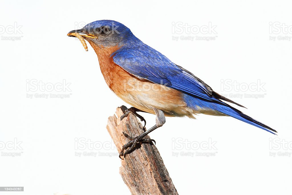 Isolated Bluebird On A Perch With Worm stock photo