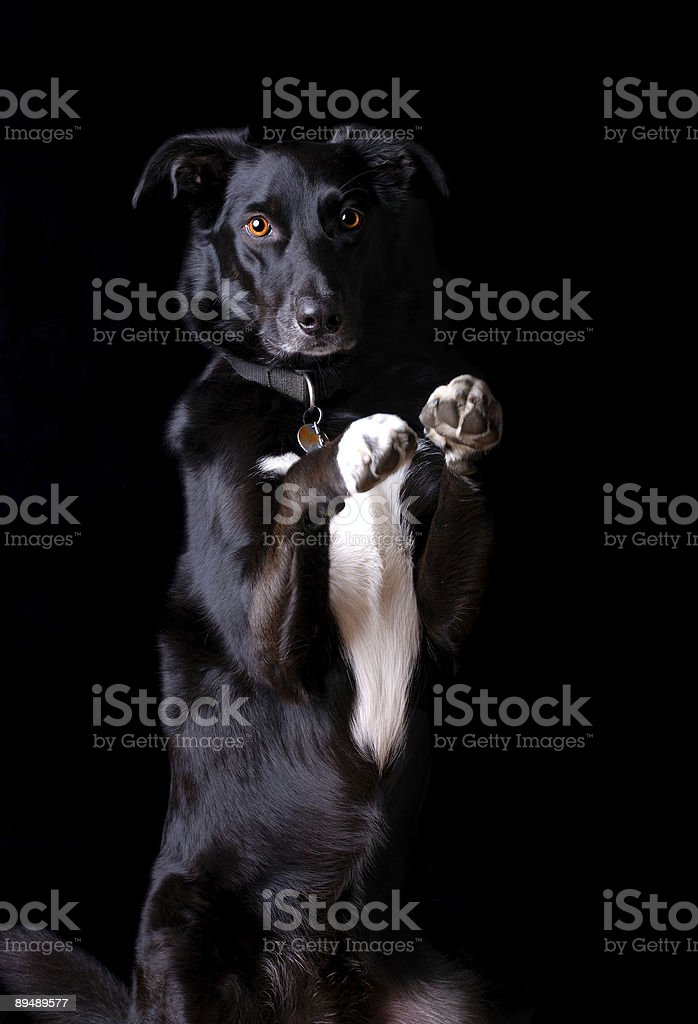 isolated border collie sitting up begging royalty-free stock photo
