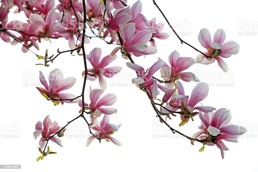 Isolated branch of magnolias on white stock photo