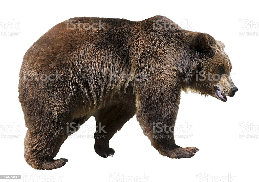 Isolated brown bear stock photo