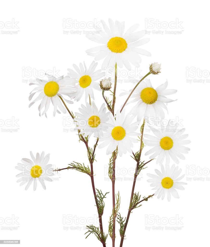 isolated bunch of fine chamomile flowers stock photo