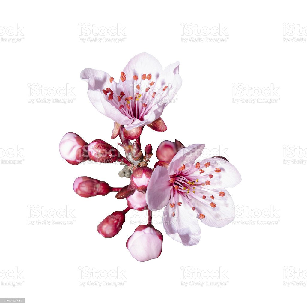 Isolated bunch of spring pink floweres royalty-free stock photo