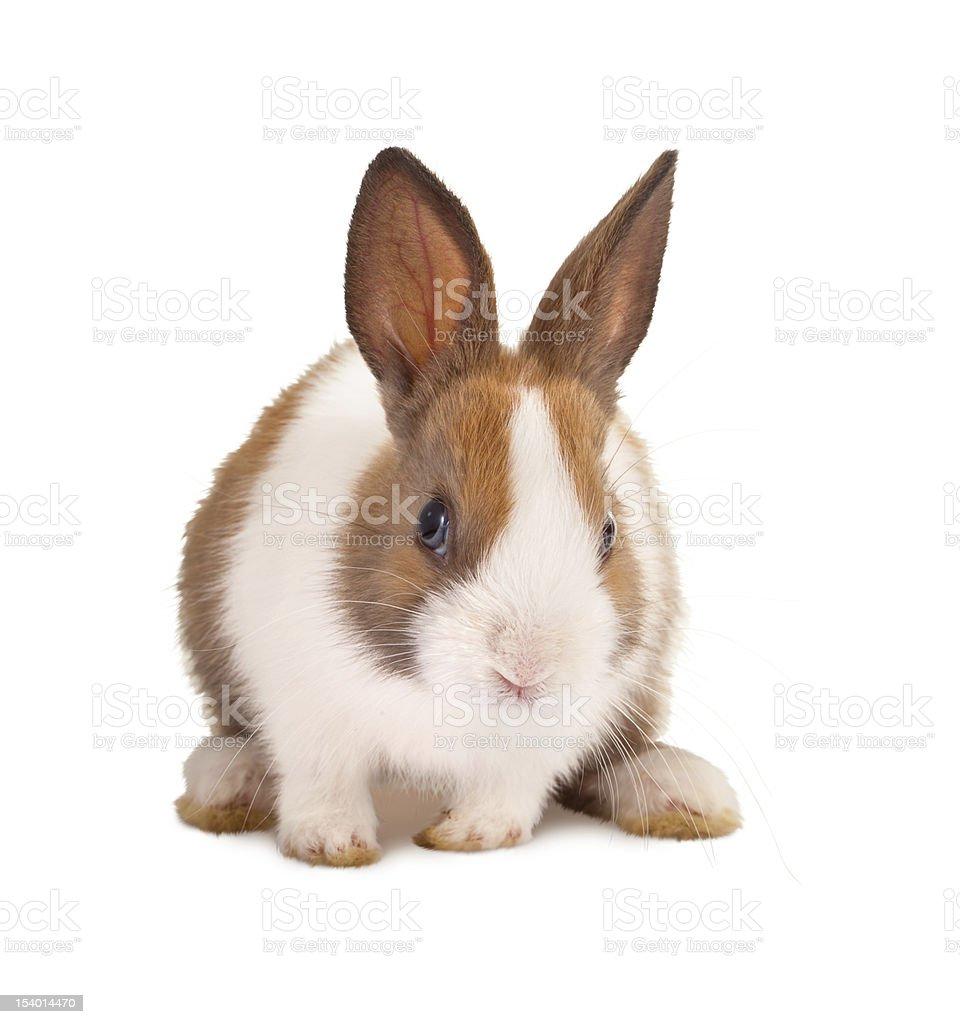 Isolated bunny royalty-free stock photo