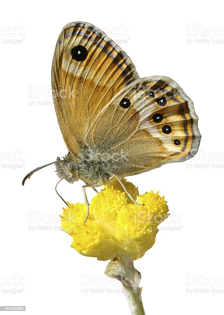 Isolated butterfly on flower royalty-free stock photo