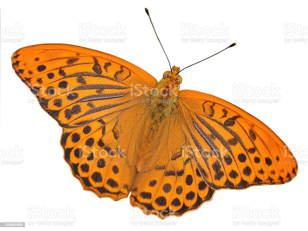 Isolated butterfly Silver-washed Fritillary stock photo