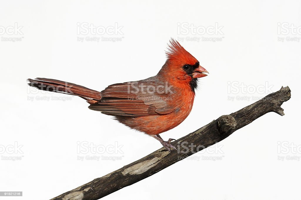 Isolated Cardinal On A Stump royalty-free stock photo