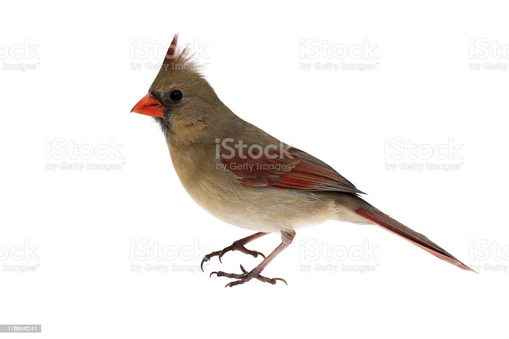 Isolated Cardinal On White royalty-free stock photo