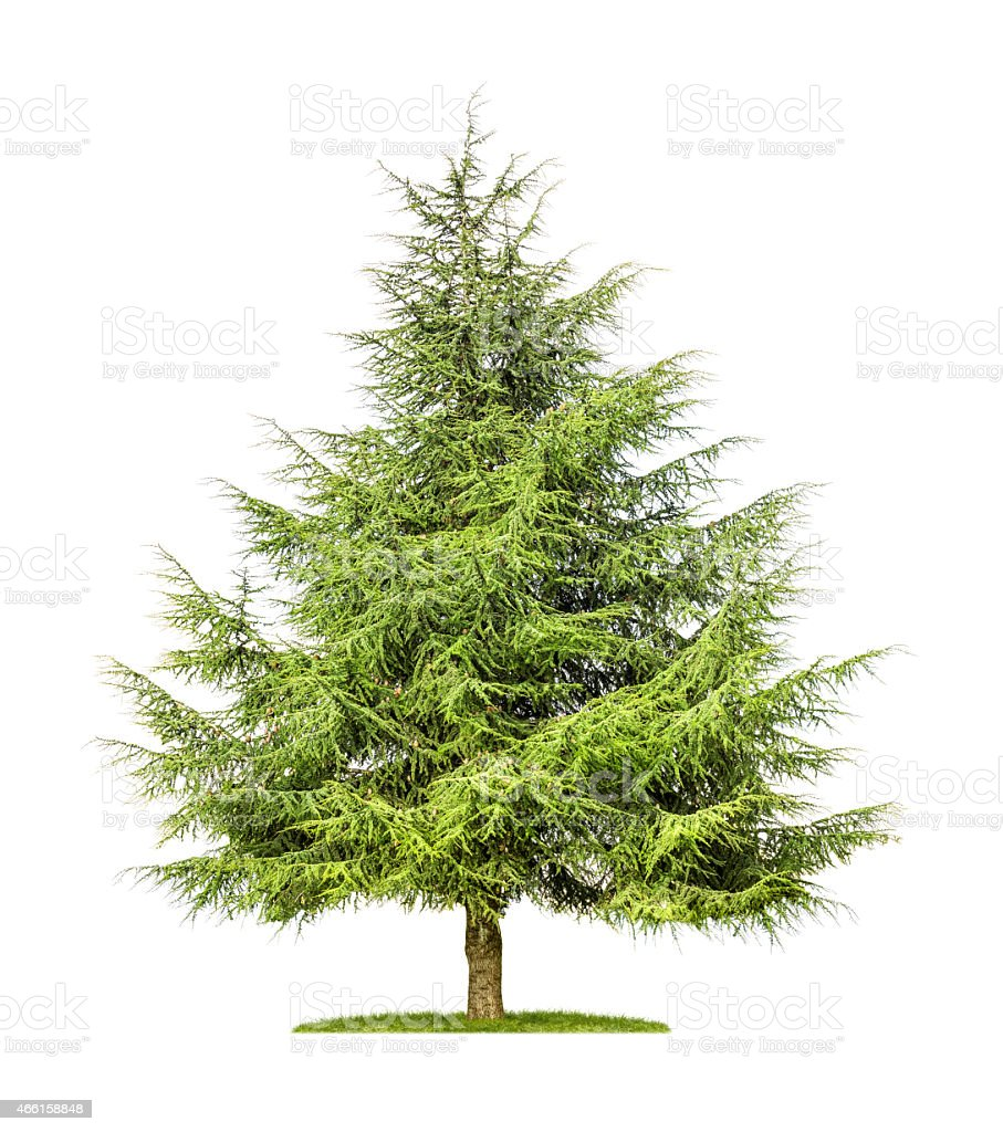isolated cedar tree on a white background stock photo