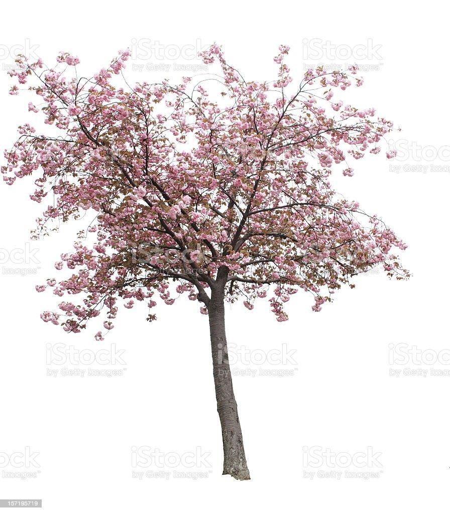 Isolated Cherry Blossom Tree stock photo