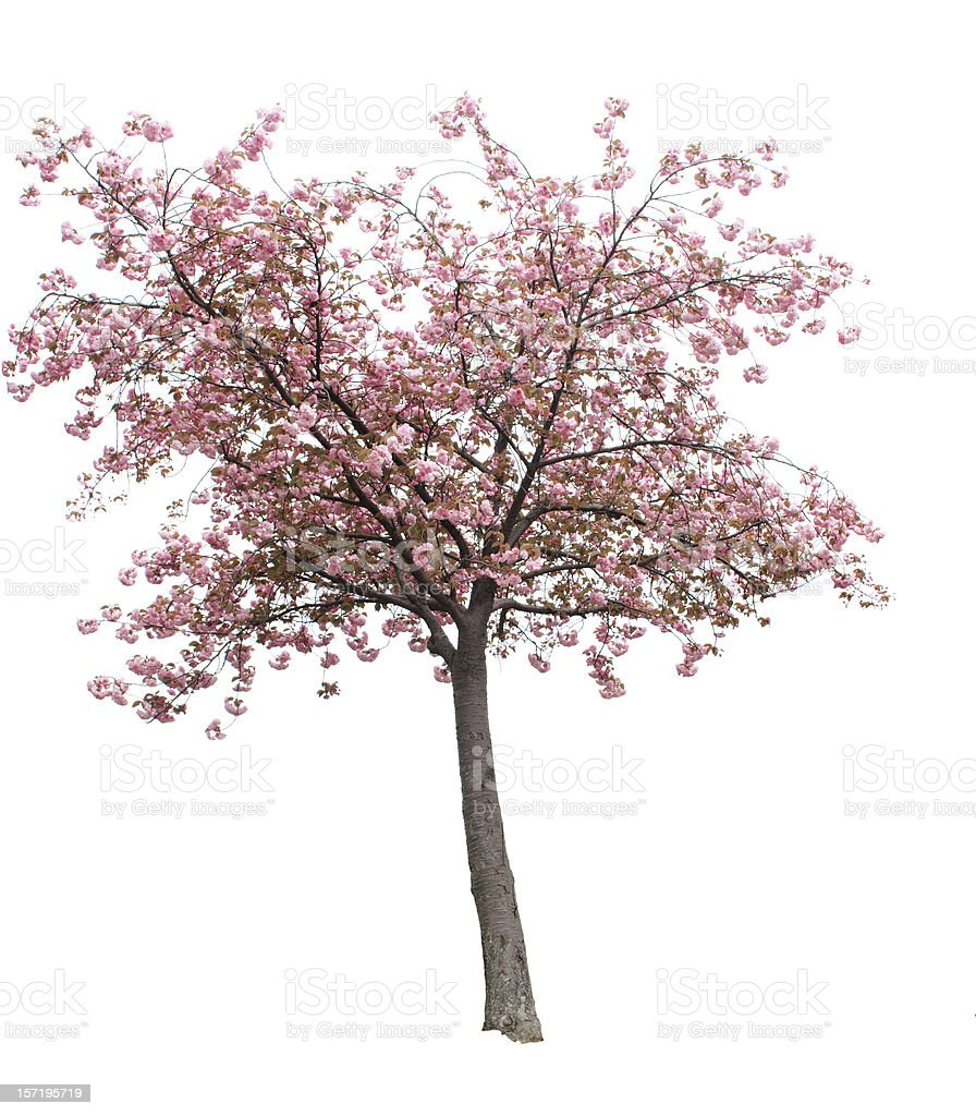 Isolated Cherry Blossom Tree stock photo