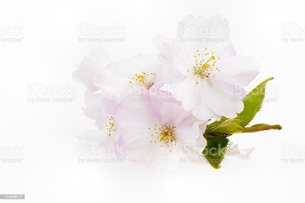 Isolated Cherry Blossoms royalty-free stock photo