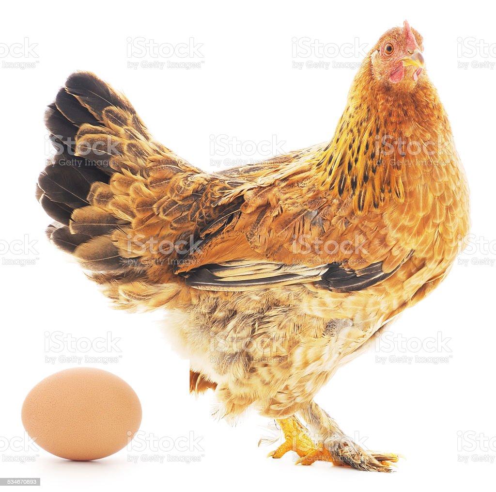 Aislado de pollo con huevos foto de stock libre de derechos