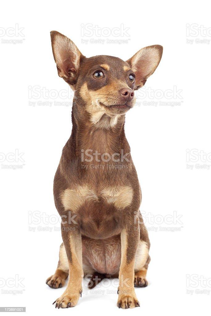 isolated chihuahua (full shot) royalty-free stock photo