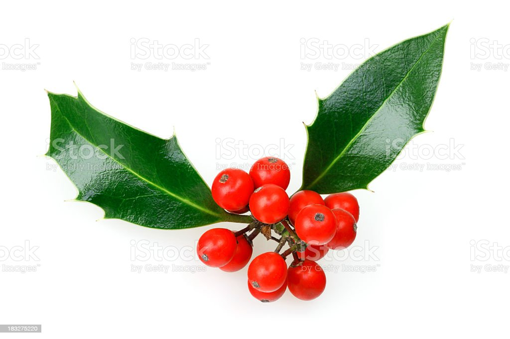Isolated Christmas Holly Twig royalty-free stock photo