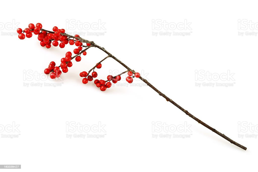 Isolated Christmas Holly Twig stock photo