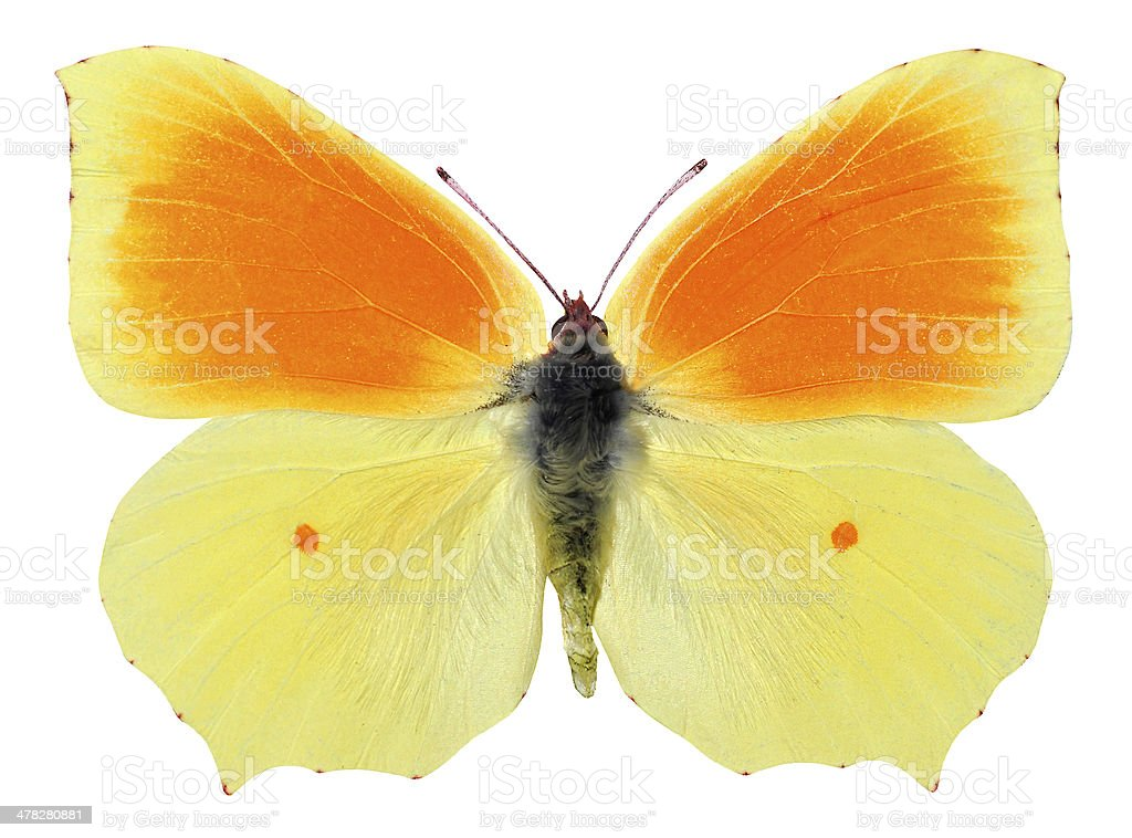 Isolated cleopatra butterfly royalty-free stock photo