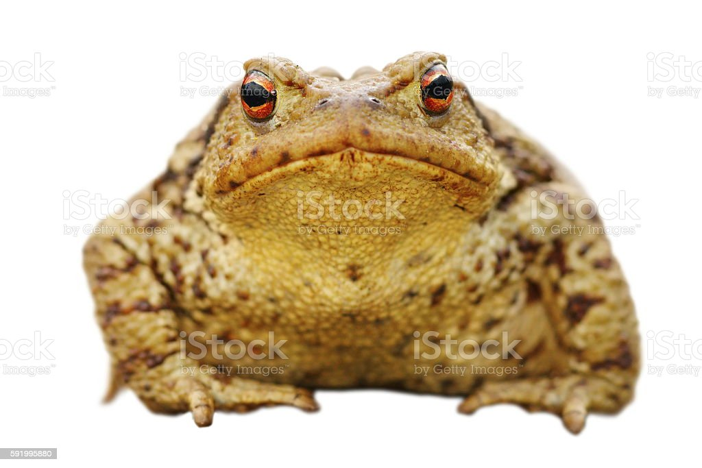 isolated close up of common toad stock photo