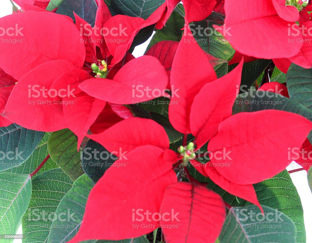 Isolated close-up image of poinsettia plant (Euphorbia pulcherrima), red bracts stock photo