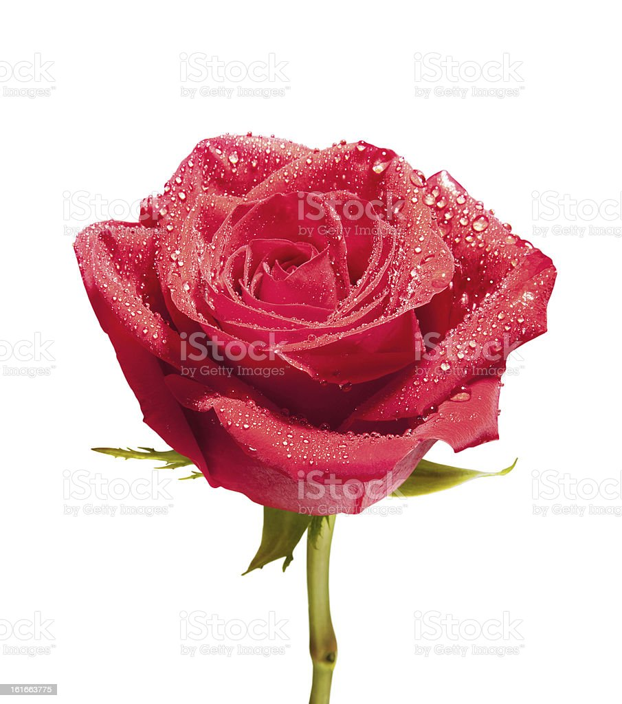 isolated close-up rose with path royalty-free stock photo