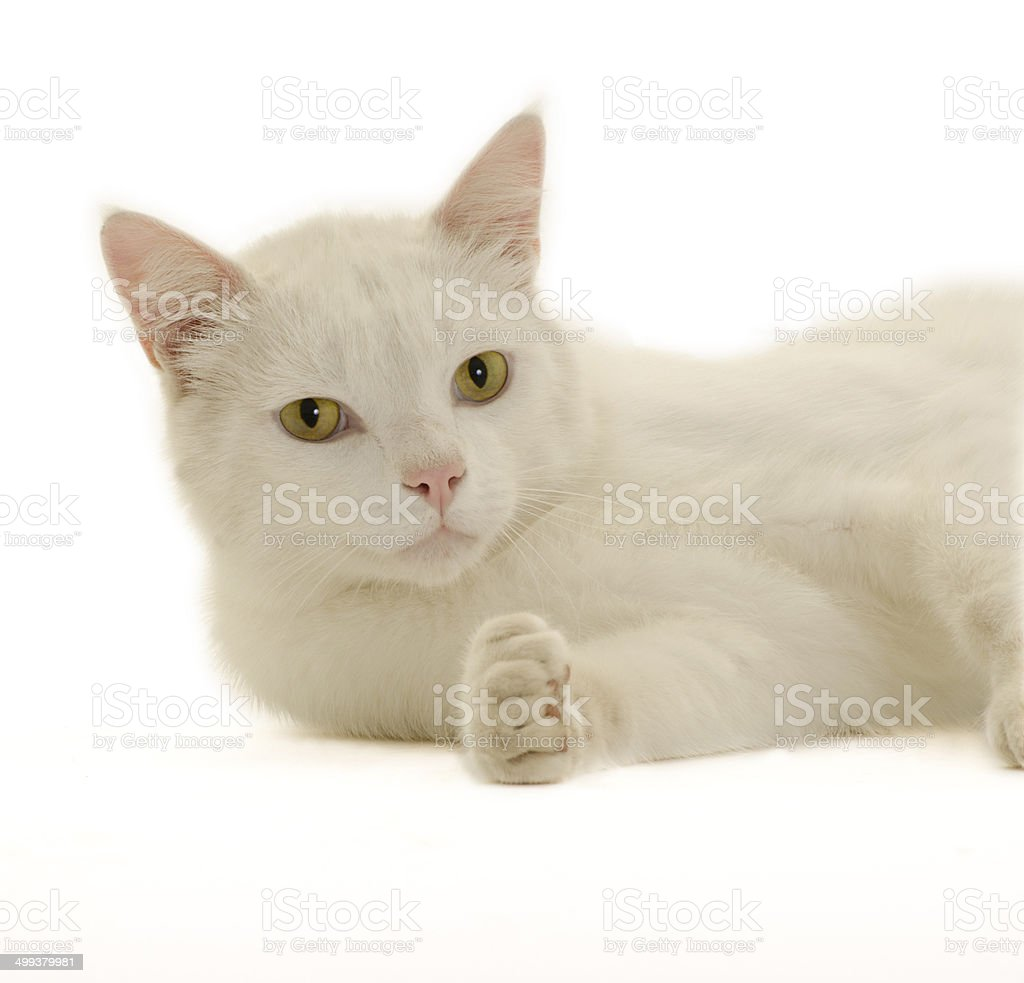 Isolated close-up White Cat lying down looking at camera stock photo