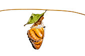 Isolated colour segeant butterfly hanging on chrysalis after eme