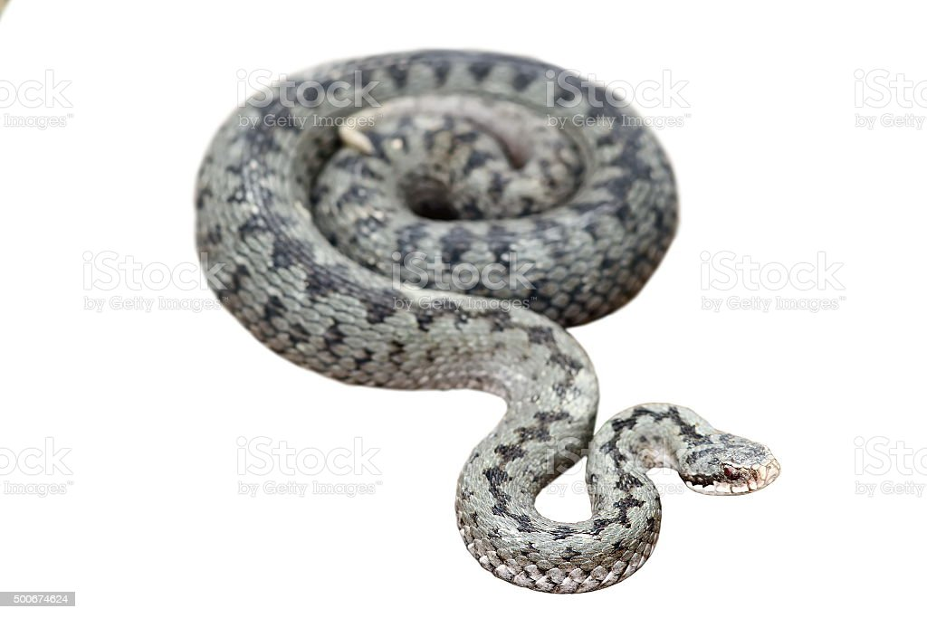 isolated common european viper stock photo