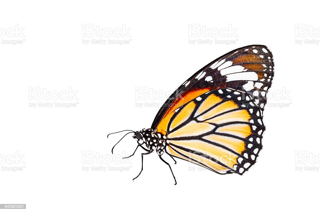 Isolated common tiger butterfly on white stock photo