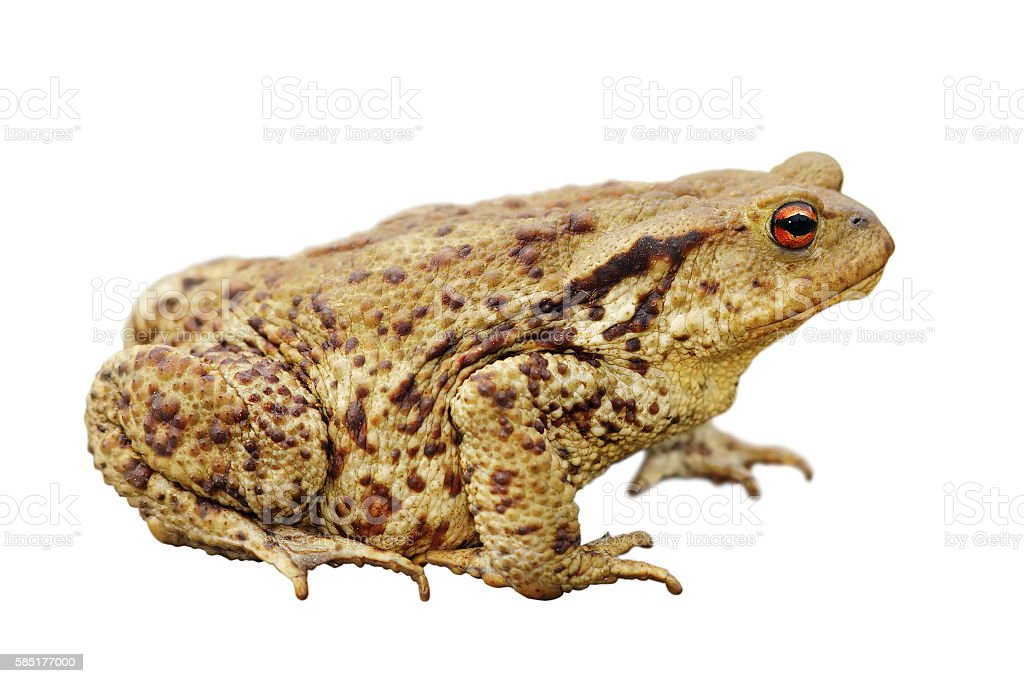 isolated common toad stock photo