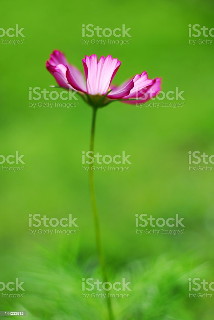 Isolated Cosmos Flower royalty-free stock photo