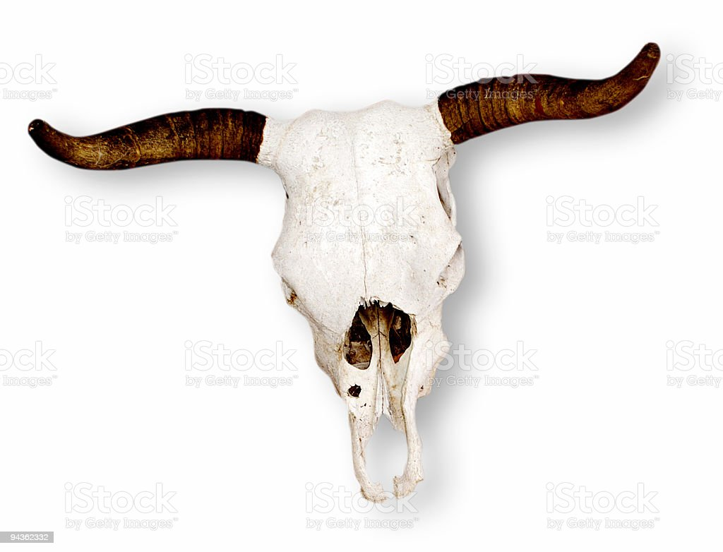 Isolated Cow Skull 2 royalty-free stock photo