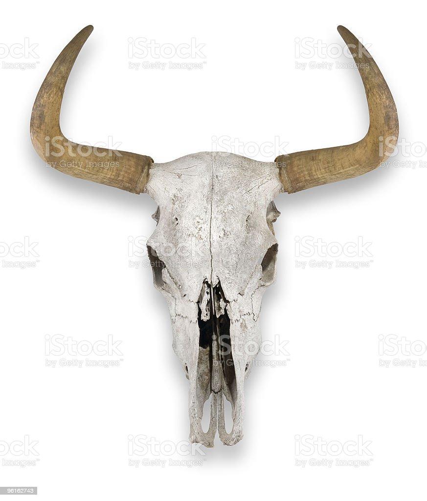 Isolated Cow Skull royalty-free stock photo