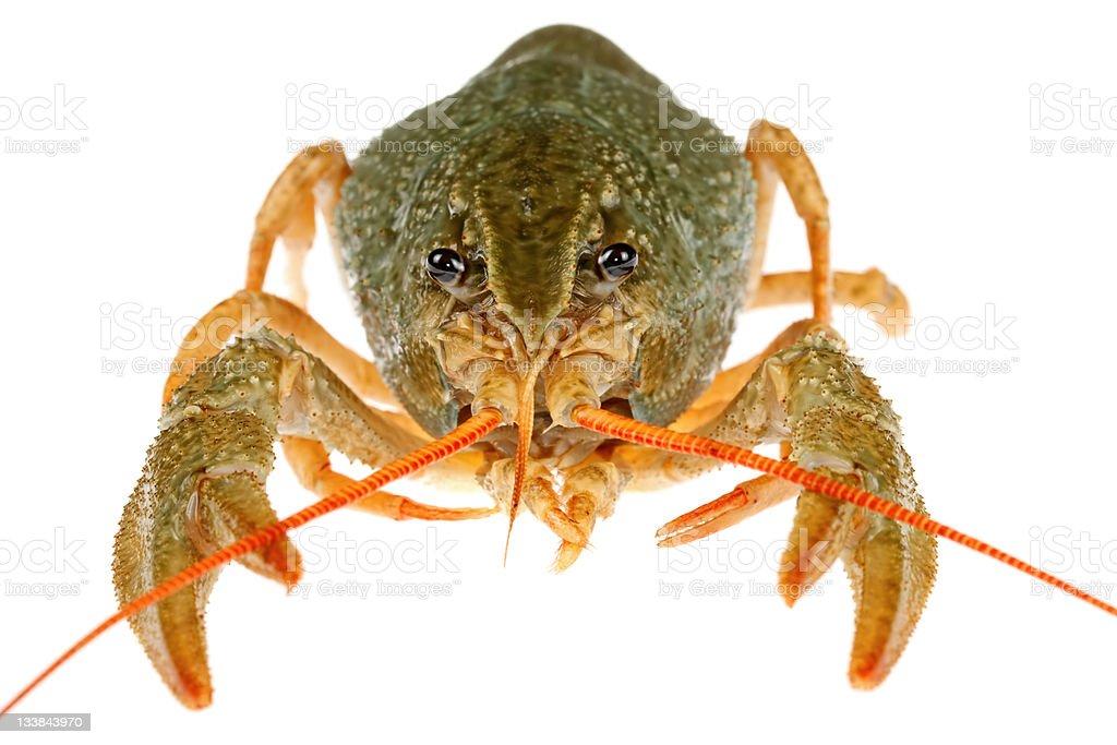 Isolated Crayfish stock photo