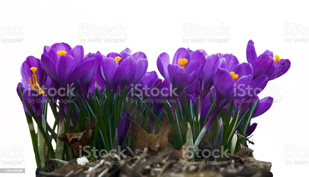 Isolated Crocus Clump royalty-free stock photo