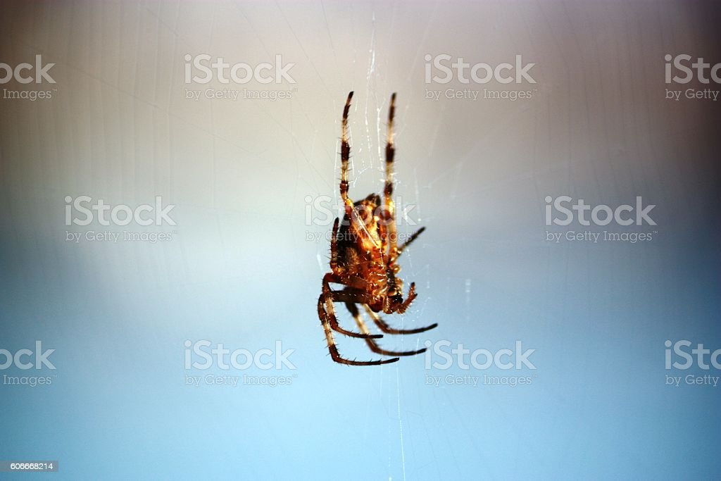 Isolated cross spider under blue sky stock photo