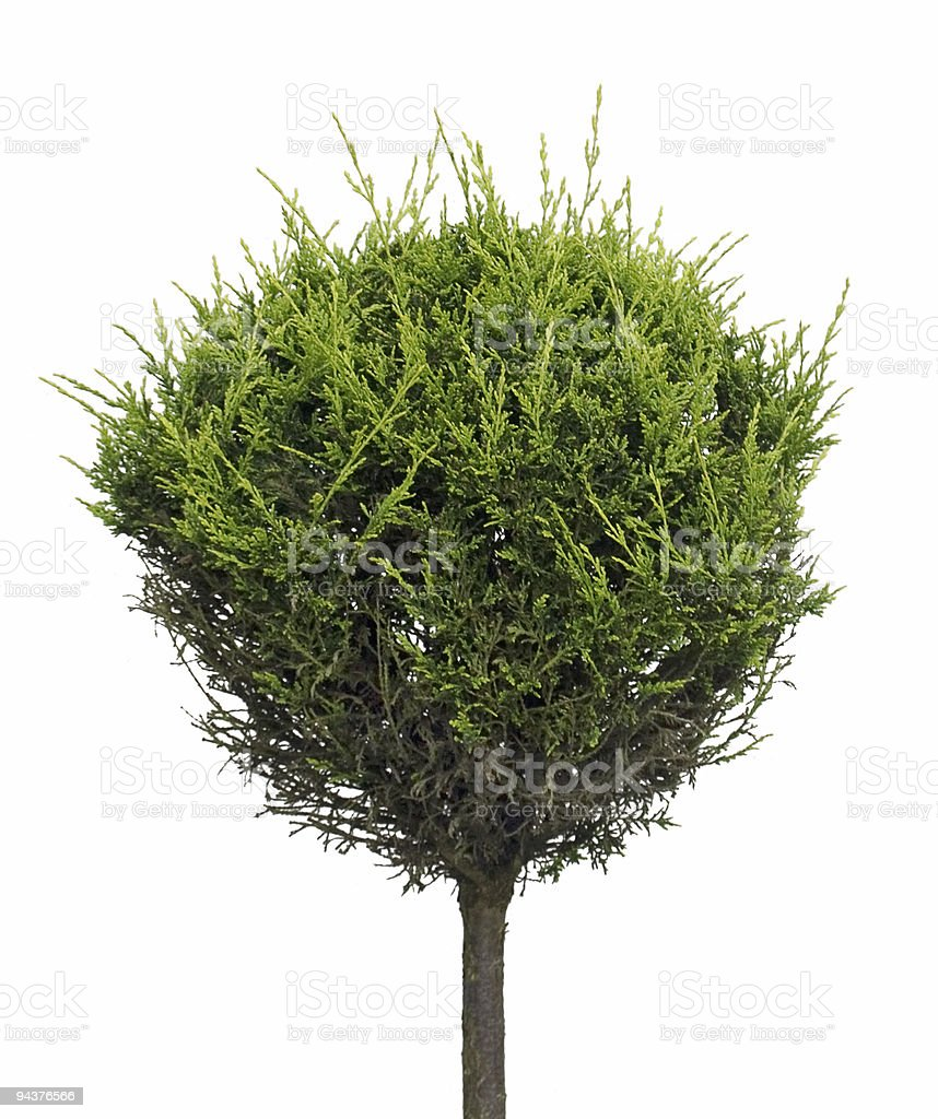 Isolated cypress royalty-free stock photo