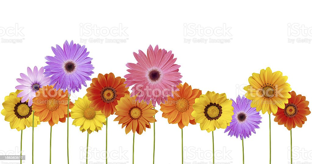 Isolated Daisies border stock photo