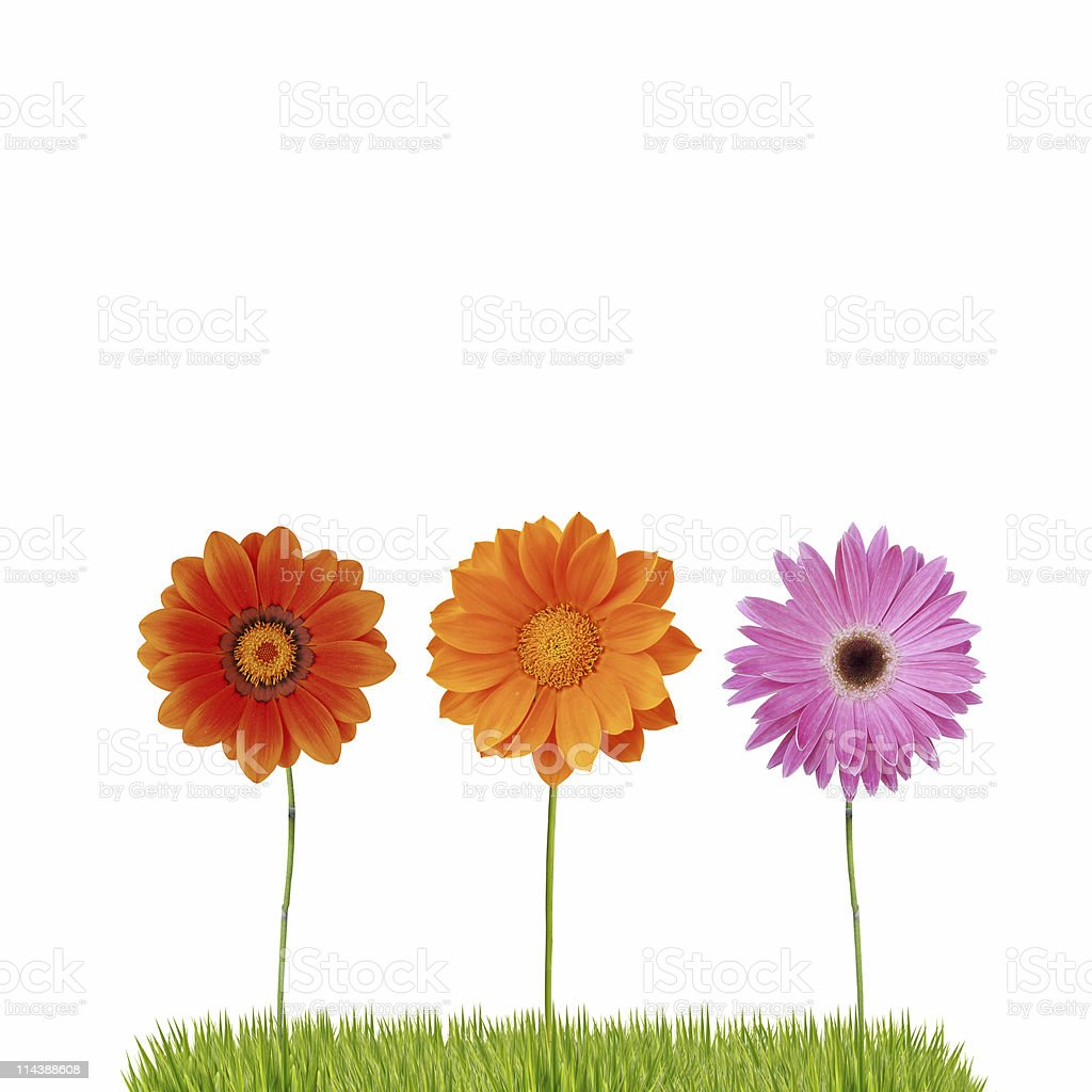 Isolated daisies on grass royalty-free stock photo
