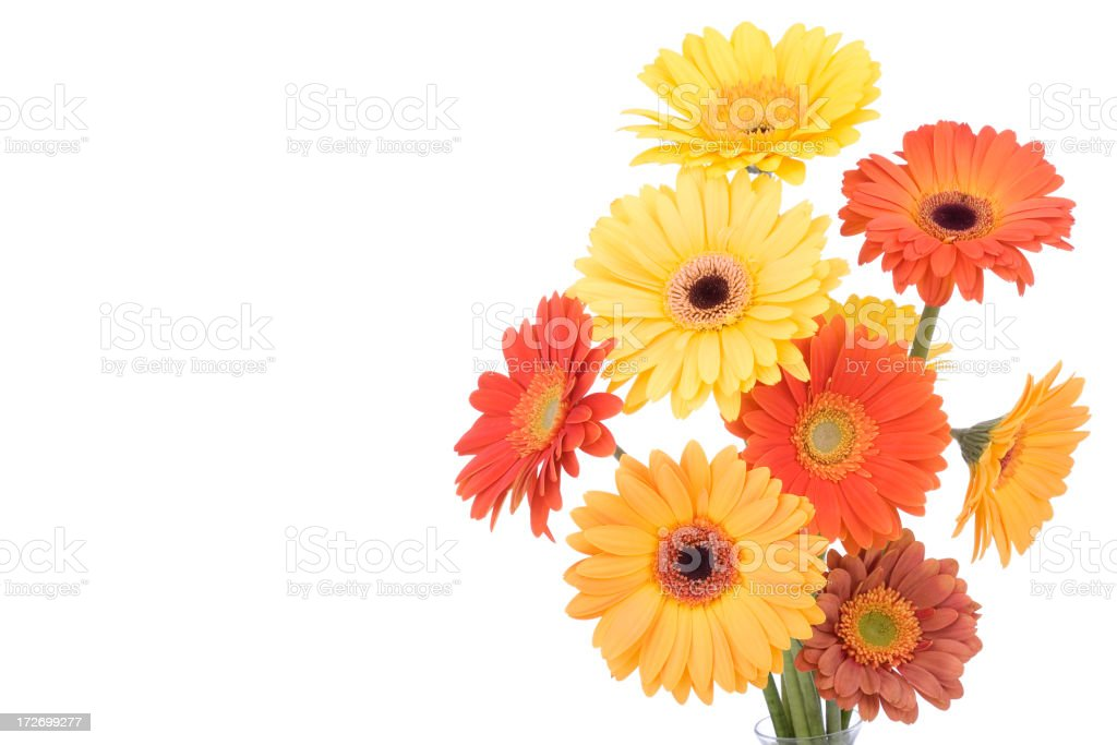 Isolated Daisies (XL) royalty-free stock photo