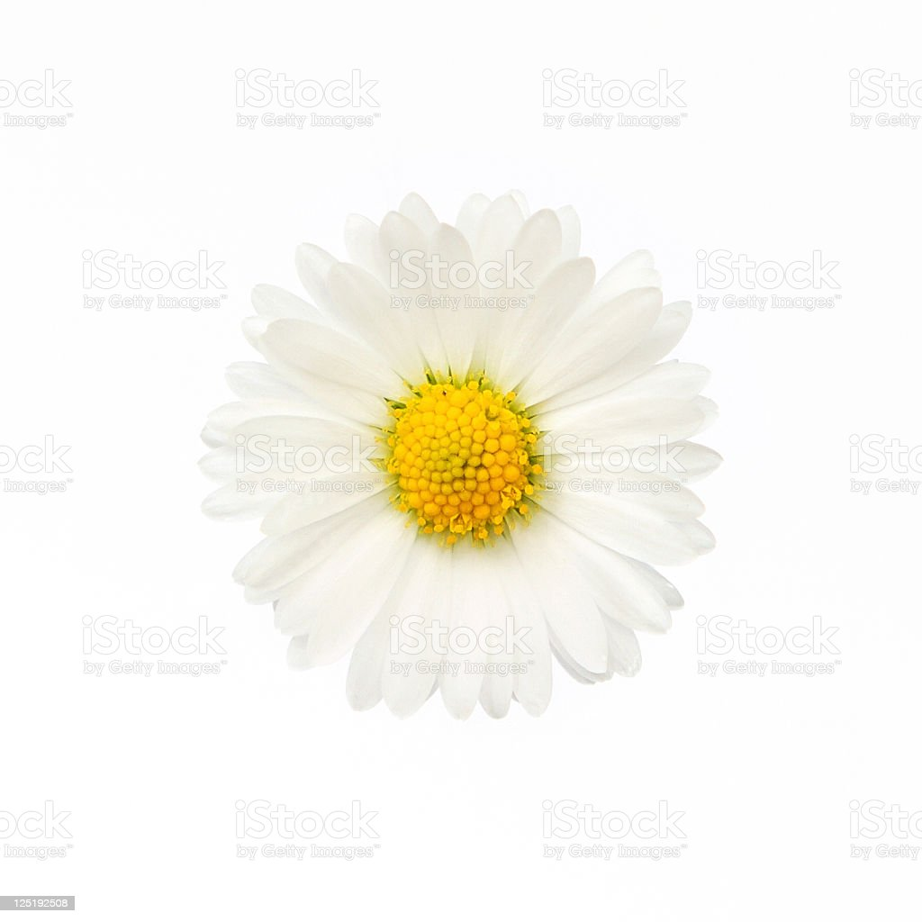 Isolated daisy flower with clipping path stock photo