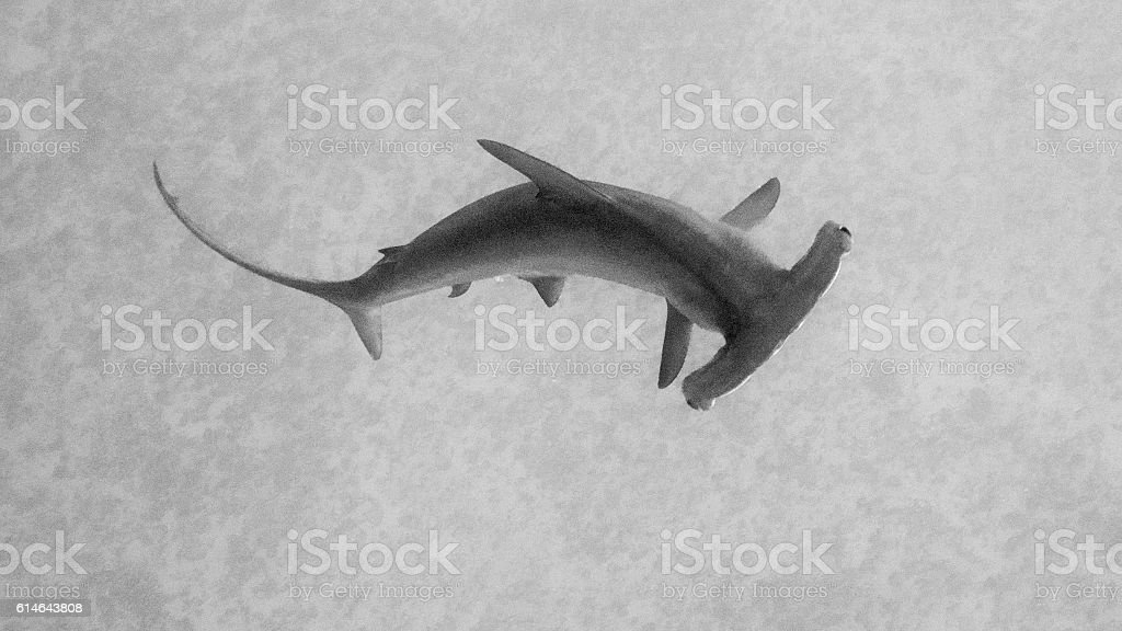 Isolated dark hammerhead shark seen from above against grey background stock photo