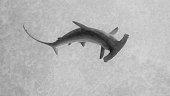 Isolated dark hammerhead shark seen from above against grey background