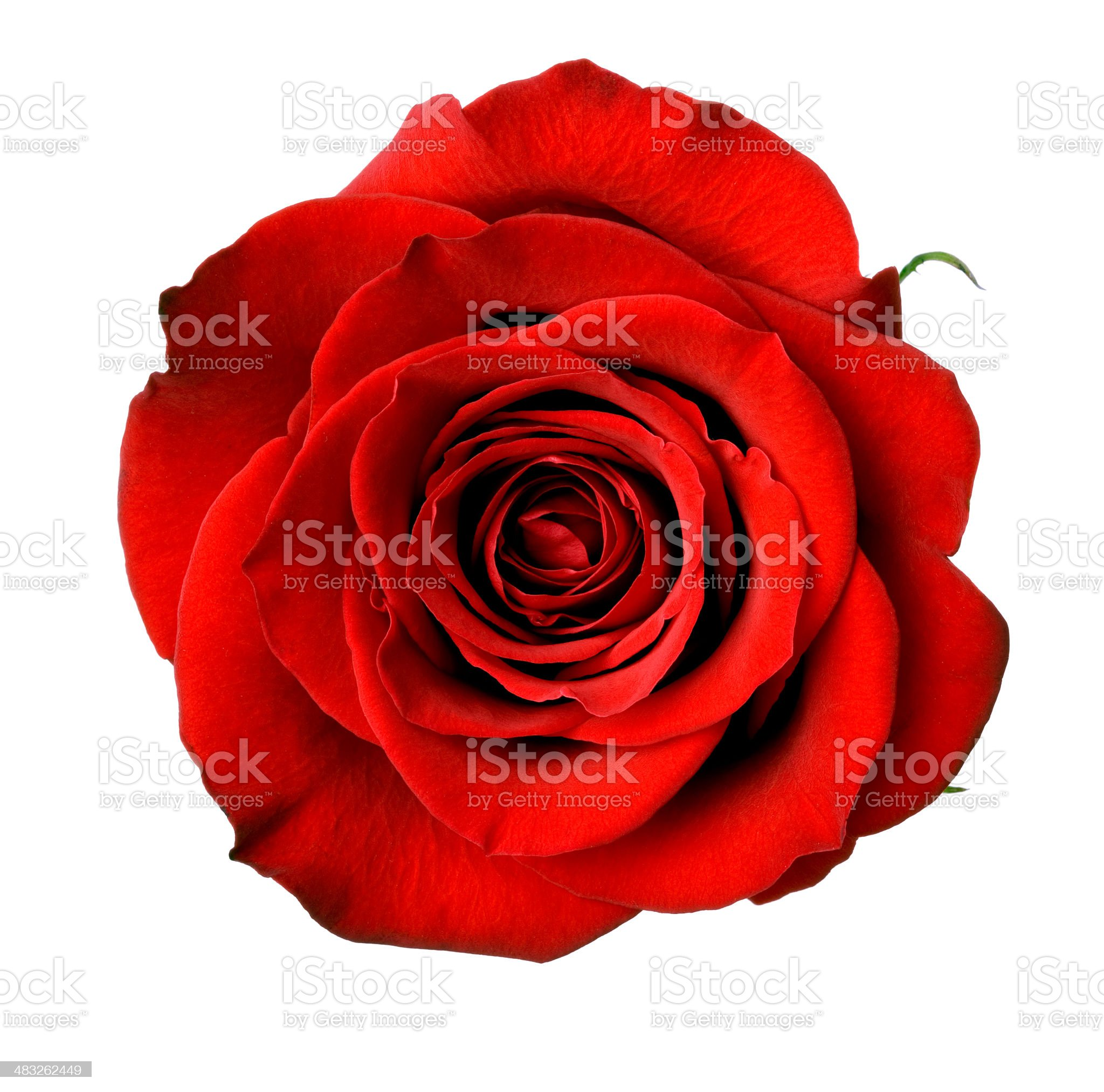 Isolated Dark Red Rose royalty-free stock photo