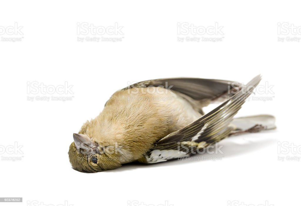 isolated dead bird stock photo