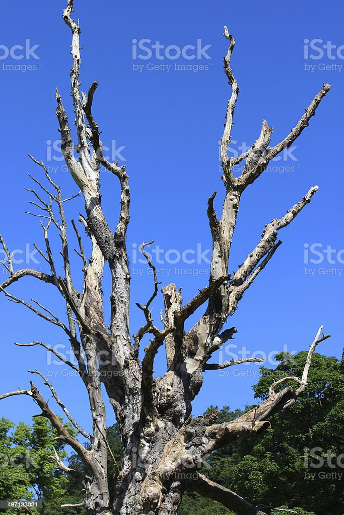 Isolated dead tree trunk / branches of horse chestnut driftwood, sky stock photo