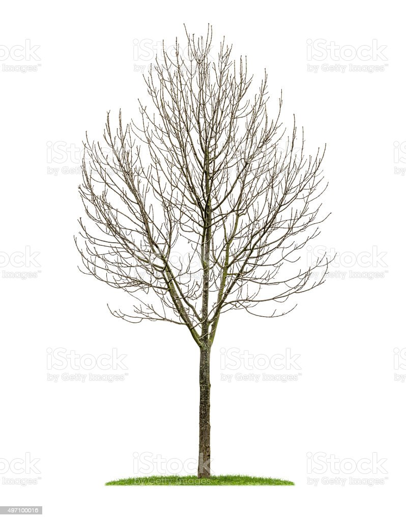 isolated deciduous tree in the winter stock photo