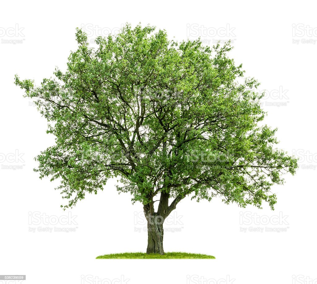 isolated deciduous tree on a white background stock photo